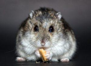 Un gentil hamster qui mange un crouton de pain